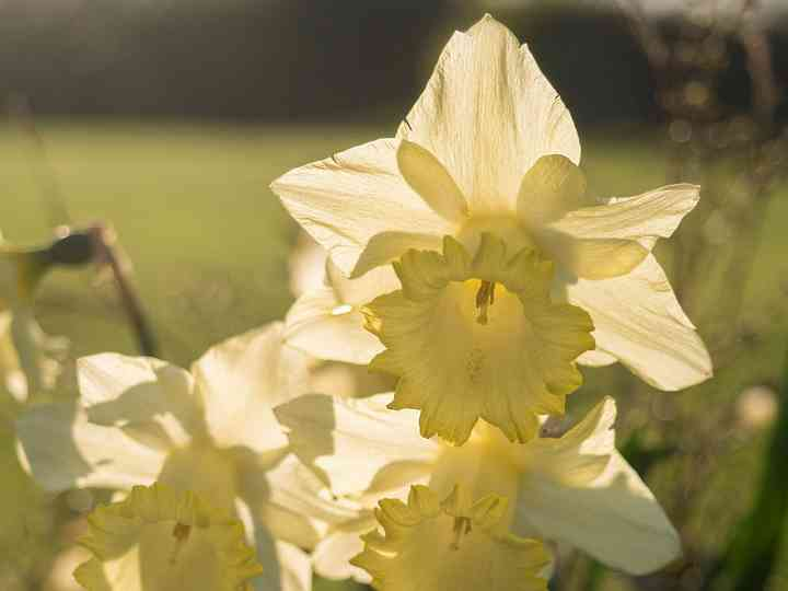 Daffodils at Burtown
