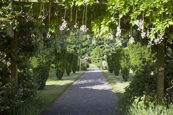 Dripping wisteria on the pergola and yew walk