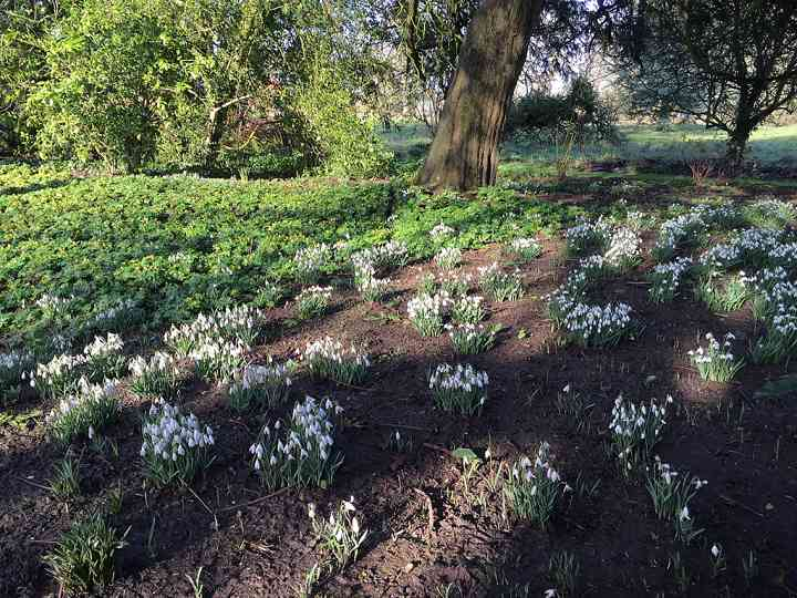 Aconites and Snowdrops at Burtown House