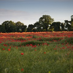 Poppy's in our wild flower meadow