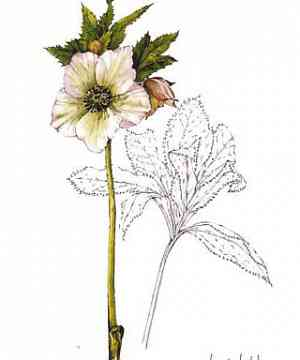 White Hellebore card by Wendy Walsh