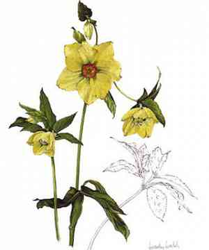 Yellow hellebore card by Wendy Walsh